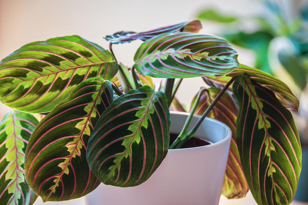 Prayer Plants